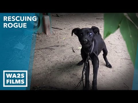 Hope For Paws Rescue Pit Bull Starved on Chain Part 2: Rescuing Rogue Ep #3 with Detroit Pit Crew