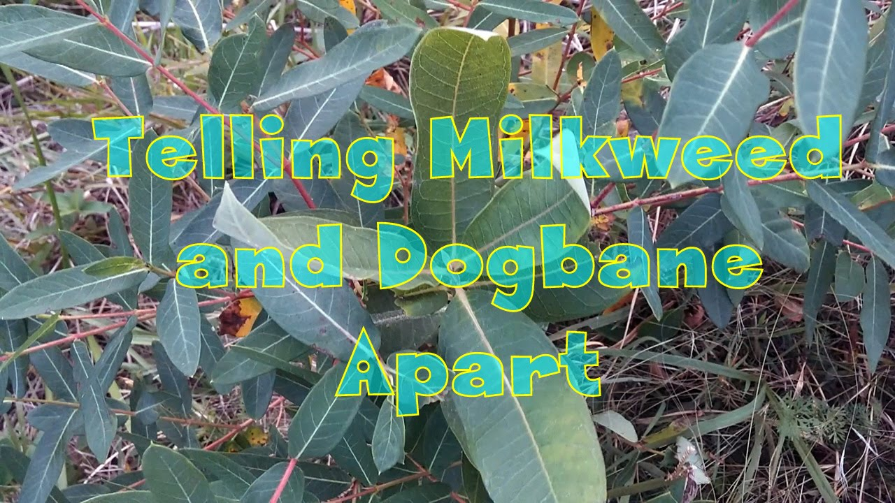 how to tell milkweed and dogbane apart youtube