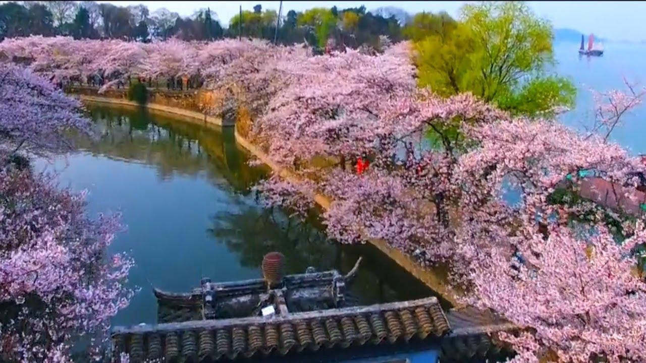 日韓櫻花睇到悶?無錫黿頭渚公園夠曬浪漫! - YouTube
