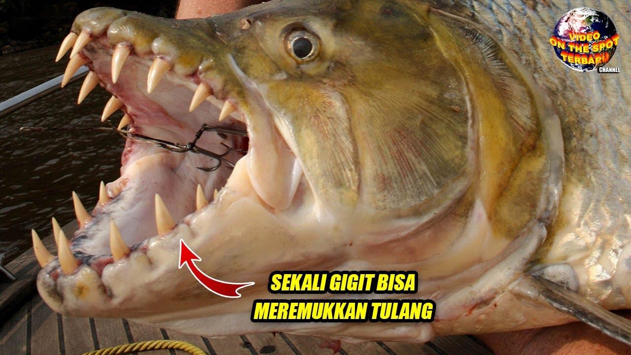Sekali Gigit Tulang Remuk!! Predator Air Tawar Terganas di Dunia