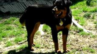 Champ, 9 Month Old Rottweiler - Rottie X Available For Adoption
