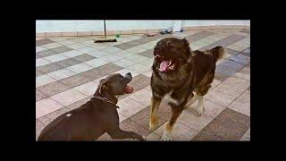 American Pit Bull Terrierはコンパニオンとファミリーの犬種です。もと...