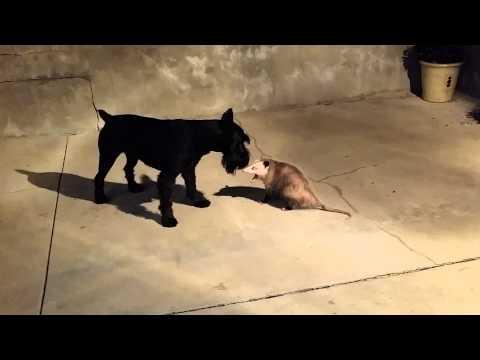 Standard Schnauzer vs Possum