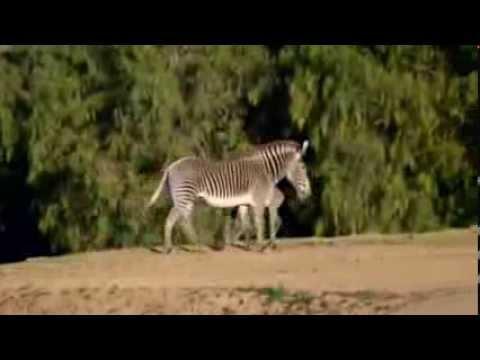 New zebra foal for San Diego zoo thumbnail