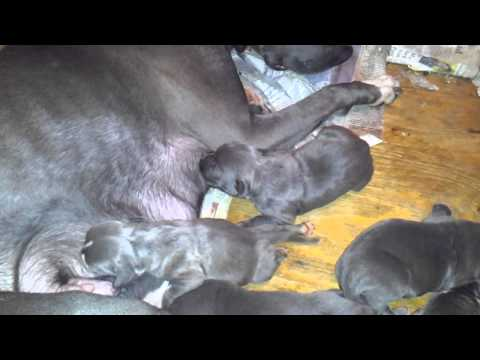 100% Razor's Edge Champion Bloodline Blue Pit Puppies For Sale