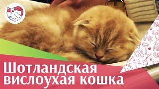 Шотландская вислоухая кошка. ilike.pet