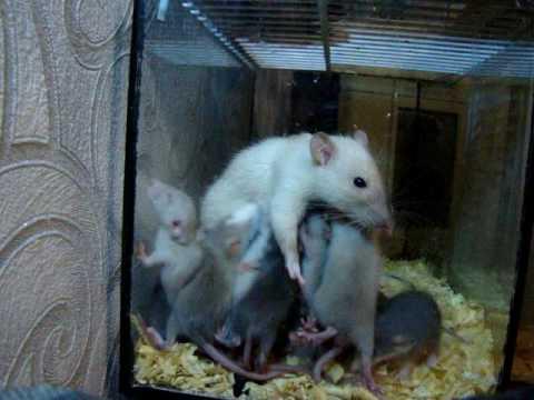 Чем отличается мышь от крысы? Как избавится от насекомых