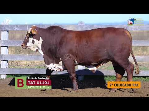 Touro U1101 - Estância Guatambu