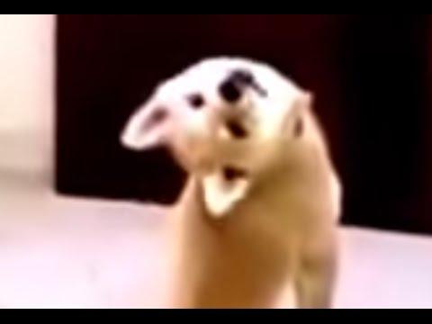 Cute Shiba Inu Puppy Look Back Up side down