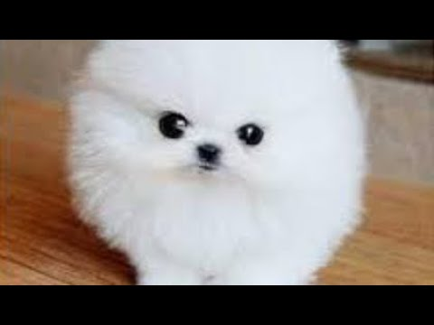 The CUTEST Pomeranian Puppies You'll EVER SEE -#1