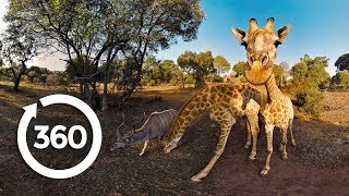 The Fight to Save Threatened Species (360 Video)