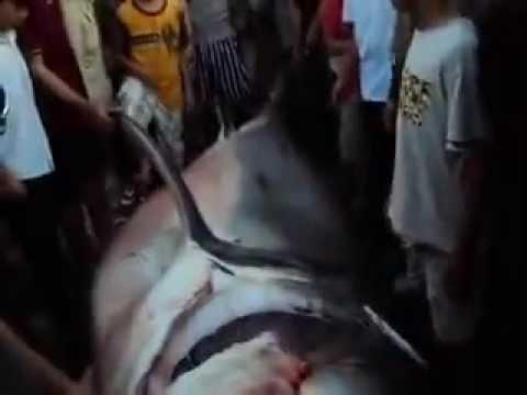 Cá mập ở Quy Nhơn