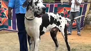 Harlequin Great Dane Madurai Kennel Dog Show 2013