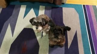 ミニチュアシュナウザーのジョーティとラヴィ 犬語で会話してくれます。