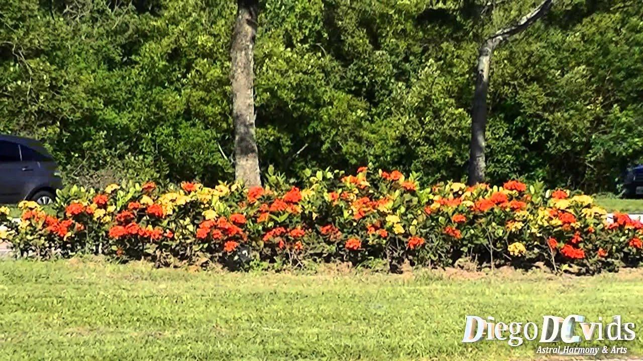 Amado Ixora Flowers (Rubiaceae - Ixoreae) - YouTube VG44