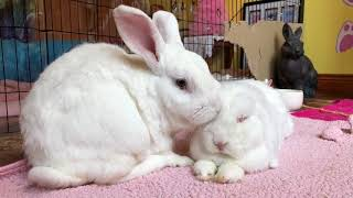 Can bunnies live alone | are bonded bunnies happier