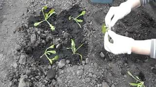 видео Цветок статице: фото, выращивание из семян, посадка и уход в открытом грунте