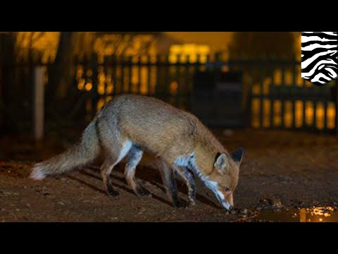 Fear of humans drives more wildlife to become nocturnal - TomoNews