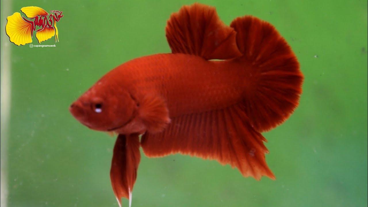 Ikan cupang plakat Super Red - Cupang Namoenk Official ...
