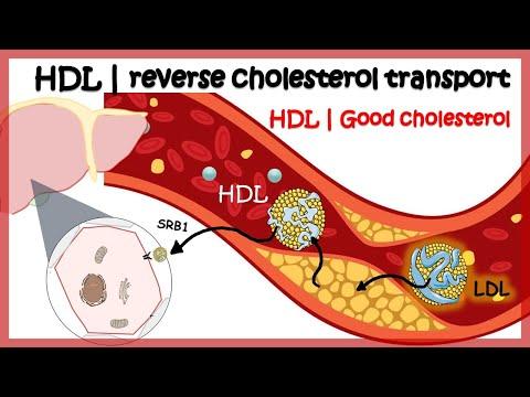 HDL ( Reverse cholesterol transport)