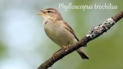 Pajulintu laulaa (Willow Warbler singing) Phylloscopus trochilus
