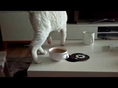 DevonRex - Wifi the Cat with coffee