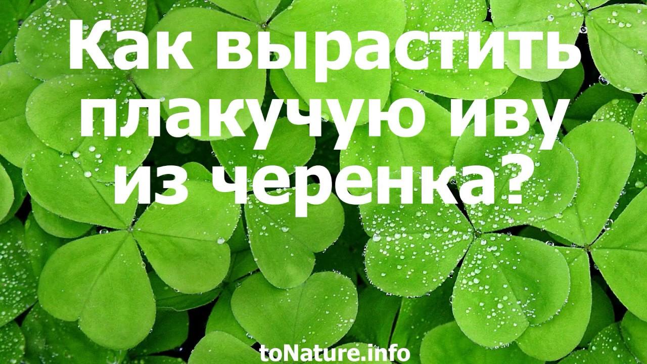 Подбирайте лучшие саженцы и деревья ивы только в питомнике садовых растений ева. Доставка по киеву и украине. Спешите заказать плакучую иву у.
