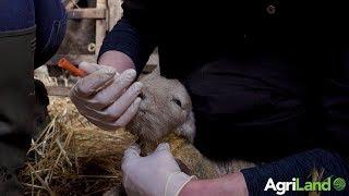 How to tube feed newborn lambs