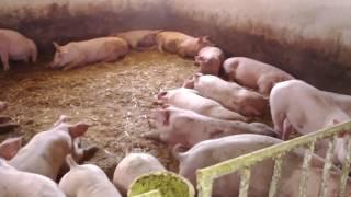 Українське село Свині Ферма Робота на фермі Робота в селі приріст свиней поросят химия и свини свині