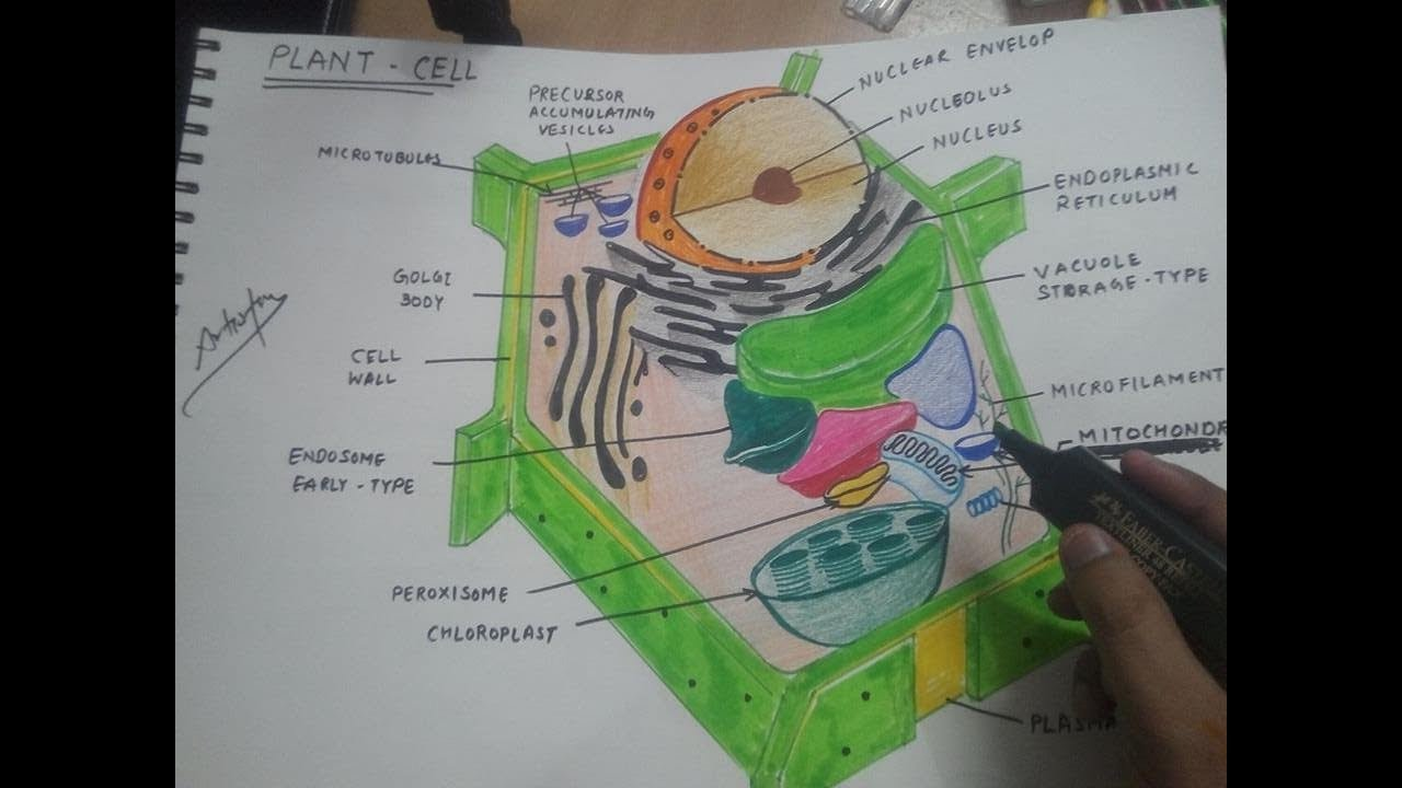 how to draw plant cell 1 [ 1280 x 720 Pixel ]