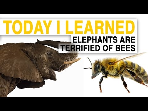 TIL: Bees Could Help Save Elephants—By Scaring Them | Today I Learned