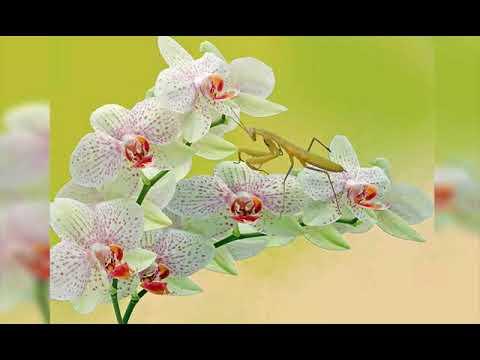 Contoh Teks Observasi Bunga Anggrek Bulan Youtube
