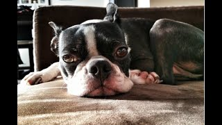 5 Lazy Dog Breeds That Don't Need Much Exercise