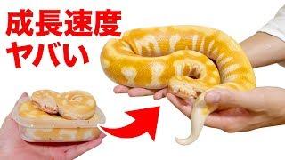 【驚異的】わずか3ヶ月で引くほどデカくなるヘビ!
