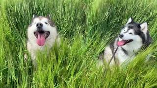 Happiest Dogs Play Hide And Seek In The Long Grass!! Too Funny!!