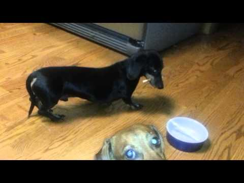 wiener dog ninja tactics