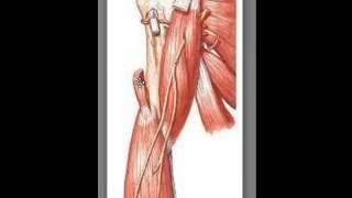 Localização dos Músculos dos Membros superiores