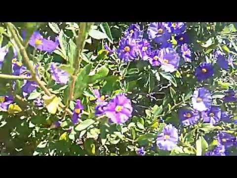planta de solano azul