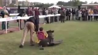 Ecco come un pastore tedesco difende una bambina da un'aggressione!
