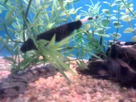 Black Ghost Fish At Petsmart Youtube