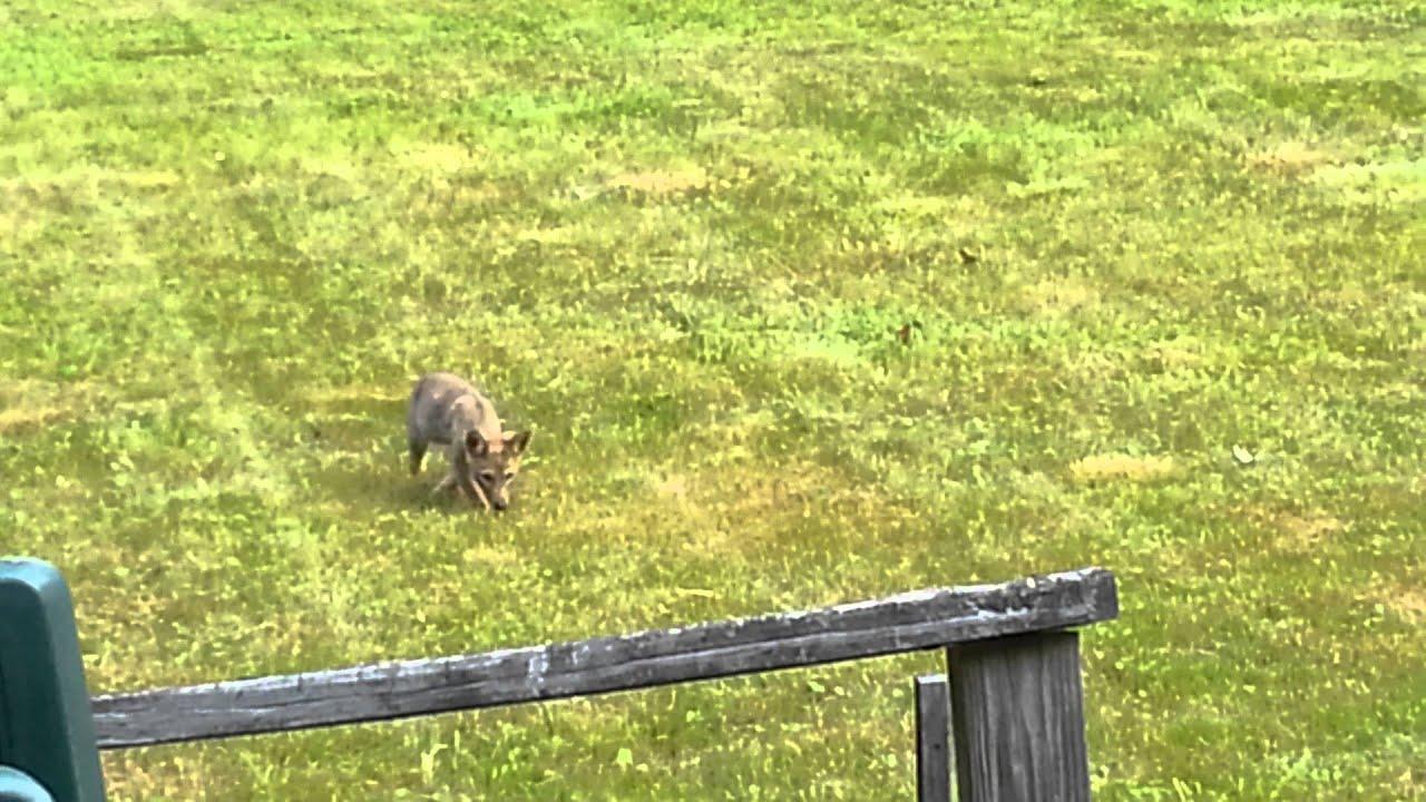 Coyote Pups frolicking in my backyard in Northeastern ...