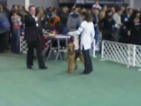 2010.02.20.Airedale champion show-Budapest,Becky from Solar of the House