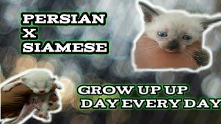 Cat Siamese Grow Up
