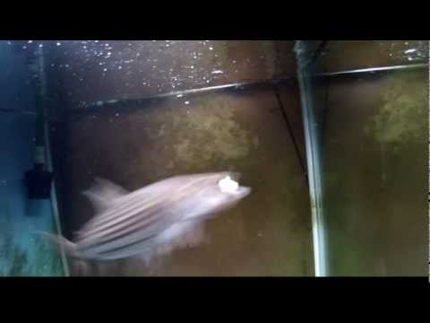 African Tiger Fish - Vittatus - and tank mates
