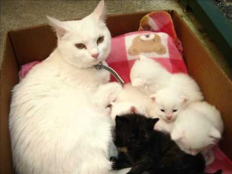 Image result for white cat nursing kittens