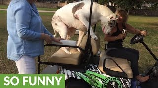 Great Dane jumps on golf cart to escape playful puppy