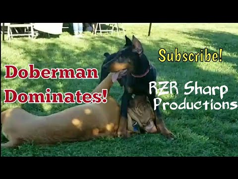 European Doberman Pinscher Dominates Dog de Bordeaux, PitBull, German Sheppard!!