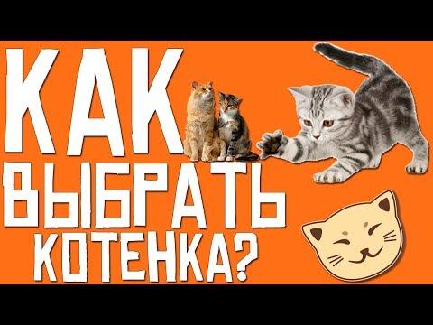 Как выбрать котенка?   Важные моменты при выборе котенка   Советы