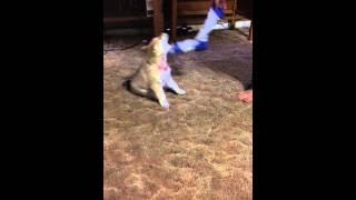 Cute Puppy. Golden Retriever Mixed With Husky