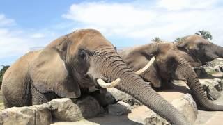 アドベンチャーワールド アフリカゾウ餌やり